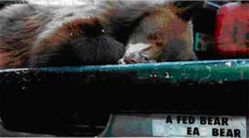 A bear on a truck bed with a bumper sticker that reads a fed bear is a dead bear